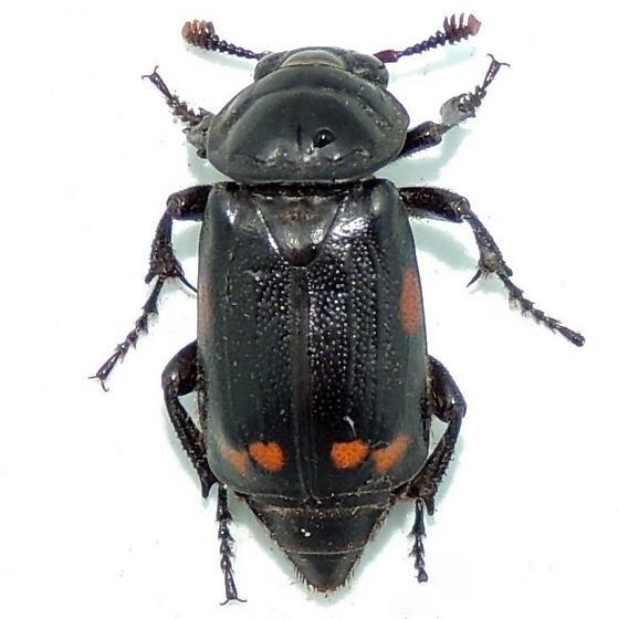 Beetle species? - Nicrophorus pustulatus