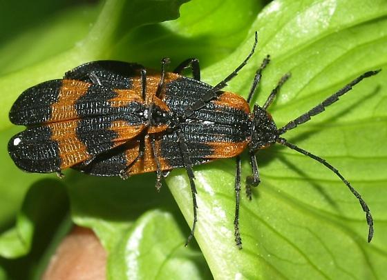 mating pair of orange black bugs calopteron discrepans bugguide net. Black Bedroom Furniture Sets. Home Design Ideas