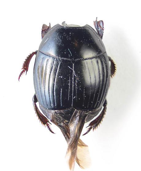 Hister beetle.. - Hister abbreviatus