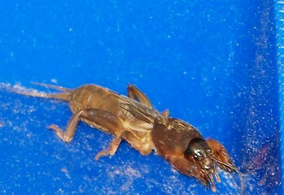 Bug - Neocurtilla hexadactyla - female