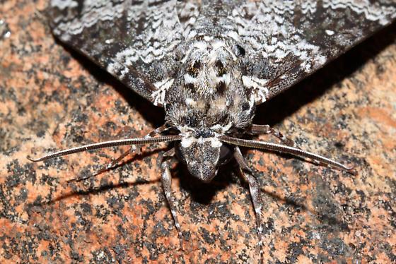 Close-up of face - Manduca rustica