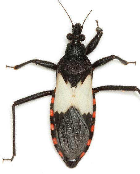 Microtomus luctuosus (Stål) - Microtomus luctuosus