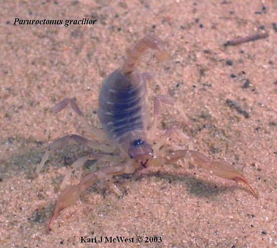 Paruroctonus gracilior - female