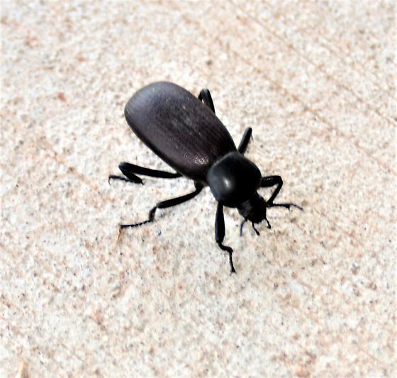 Darkling beetle? - Eleodes obscura