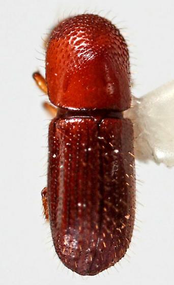 Scolytidae? - Xyleborus affinis