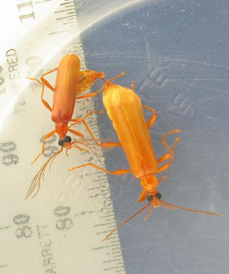Was it love? - Dendroides concolor - male - female