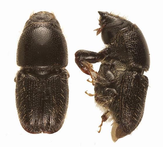 Scolytus muticus