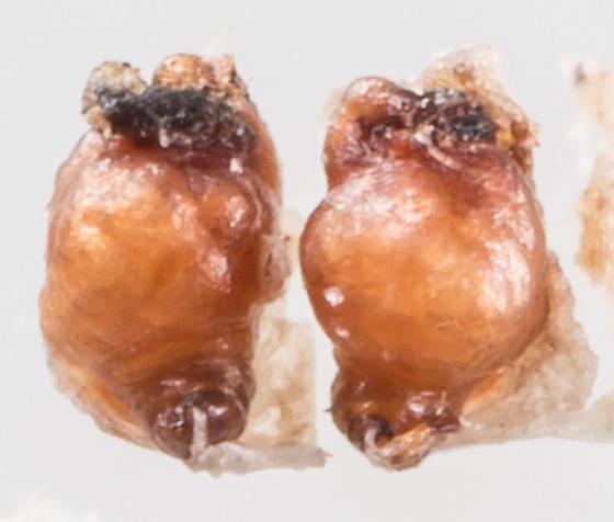 Thanatus formicinus - female