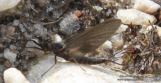 Dark ephemeroptera - Leptophlebia