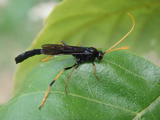 Possible Stem Sawfly? - Therion morio