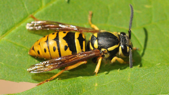 unknown wasp - Vespula maculifrons - female