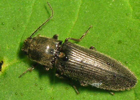 Elaterid - Hemicrepidius indistinctus