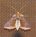 Unspotted Looper Moth - Allagrapha aerea