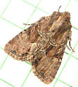 100 Oligia indirecta - Oblique Brocade Moth 9401 - Xylomoia indirecta