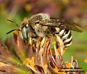 Bee - Anthidium maculifrons