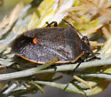orange bordered bug - Chlorochroa ligata