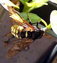 Giant bee or fly - Cimbex americana