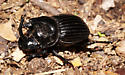 - - Copris arizonensis - male