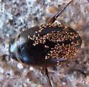 Dytiscidae: Graphoderus? - Graphoderus occidentalis