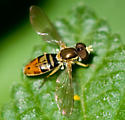 Some kind of hoverfly, I think - Toxomerus marginatus - male