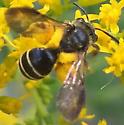 Megachile sp - Andrena nubecula