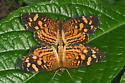Cuban Crescent - Anthanassa frisia - male - female