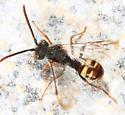 Cuckoo Bee - Nomada bella - male