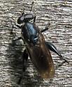 Chalcosyrphus nemorum? - Chalcosyrphus