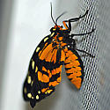 Ranchman's tiger moth - Platyprepia virginalis - female