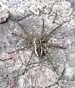 Outdoor spider - Dolomedes scriptus