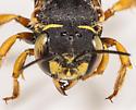 Bee? - Anthidium oblongatum - female