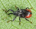weevil - Anthonomus signatus