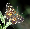 Painted Crescent 1 - Phyciodes picta