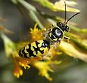 Sphecid - Steniolia - male