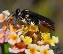 mole cricket hunter - Larra bicolor - female