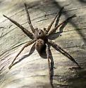 spider0418152 - Dolomedes vittatus
