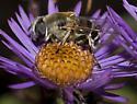 Syrphid Fly - Eristalis stipator - female