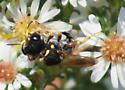 What wasp? - Ectemnius rufifemur