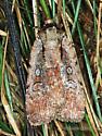 Noctuidae - Eueretagrotis attentus