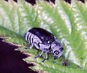 Odd Gray Beetle - Coleothorpa dominicana