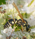 small potter's wasp Parancistrocerus sp.? - Parancistrocerus leionotus