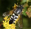 Wasp - Bicyrtes quadrifasciatus