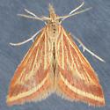 4796  - Microtheoris ophionalis