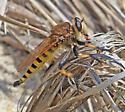 Common Name? - Promachus rufipes - male