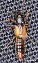 Staphylinoidea ? - Bledius