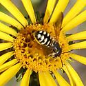 Intruder into my flower picture - Dianthidium