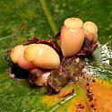 Dryocosmus deciduus