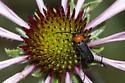 Long-horned Beetle - Batyle ignicollis