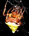 Interesting spider - Verrucosa arenata