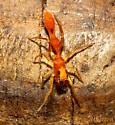 Orange ant mimic - Synemosyna petrunkevitchi - female